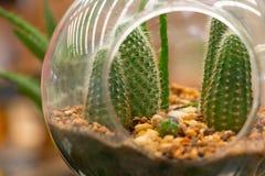 Primo piano dei cactus in palla trasparente Fotografia Stock Libera da Diritti