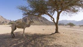 Primo piano dei cammelli al deserto Fotografia Stock