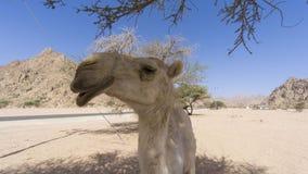 Primo piano dei cammelli al deserto Fotografie Stock