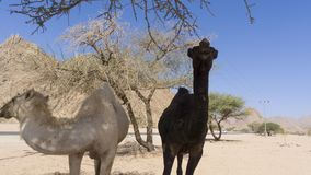 Primo piano dei cammelli al deserto Immagine Stock