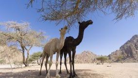 Primo piano dei cammelli al deserto Fotografie Stock Libere da Diritti