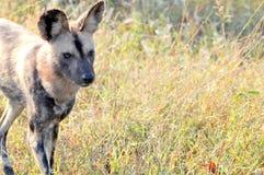 Primo piano dei cani selvaggi Fotografia Stock