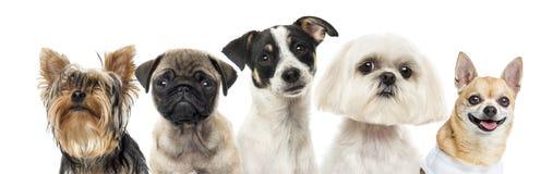 Primo piano dei cani in una fila, isolato Immagine Stock