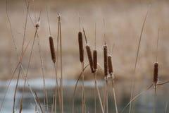Primo piano dei Cattails in primavera Fotografie Stock Libere da Diritti