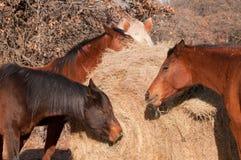 Primo piano dei cavalli che mangiano fieno Fotografia Stock