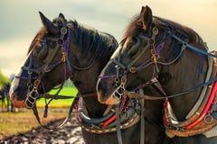 Primo piano dei cavalli da tiro e dei loro cablaggi del lavoro Fotografia Stock