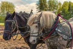 Primo piano dei cavalli da tiro e dei loro cablaggi del lavoro Immagine Stock