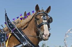 Primo piano dei cavalli di cambiale belgi al paese giusto Fotografie Stock Libere da Diritti