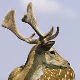 Primo piano dei cervi selvaggi Immagini Stock Libere da Diritti