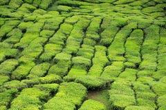 Primo piano dei cespugli del tè alla piantagione di tè Fotografia Stock Libera da Diritti