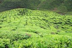 Primo piano dei cespugli del tè alla piantagione di tè Immagine Stock