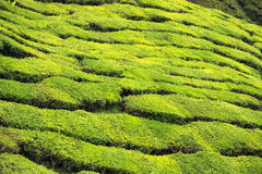 Primo piano dei cespugli del tè alla piantagione di tè Fotografia Stock