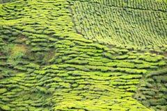 Primo piano dei cespugli del tè alla piantagione di tè Fotografie Stock