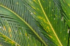 Primo piano dei circinalis L della cycadaceae delle foglie Fotografia Stock