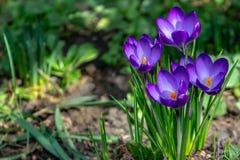Primo piano dei croco viola Ruby Giant su sfondo naturale Fuoco selettivo molle fotografia stock