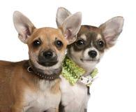 Primo piano dei cuccioli della chihuahua, 3 mesi Immagine Stock