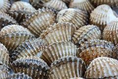 Primo piano dei cuori edule (pettine) per il fondo dell'alimento Immagini Stock Libere da Diritti