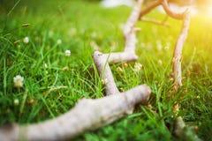 Primo piano dei denti di leone bianchi in primavera della terra con il fondo verde del campo fotografia stock libera da diritti