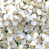 Primo piano dei fiori bianchi del millefoglio Fotografie Stock