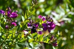 Primo piano dei fiori con Violet Carpenter Bee, natura, macro della polygala immagini stock
