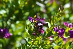Primo piano dei fiori con Violet Carpenter Bee, natura, macro della polygala fotografia stock