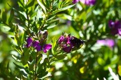 Primo piano dei fiori con Violet Carpenter Bee, natura, macro della polygala fotografie stock