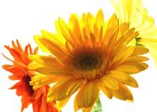 Primo piano dei fiori del gerber Fotografie Stock Libere da Diritti