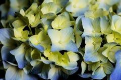 Primo piano dei fiori delicati dell'ortensia Immagine Stock