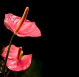 Primo piano dei fiori dell'anturio Fotografia Stock