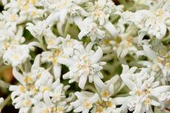 Primo piano dei fiori dell'edelweiss di Alpic Fotografie Stock Libere da Diritti