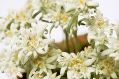 Primo piano dei fiori dell'edelweiss in un cerchio Fotografia Stock Libera da Diritti