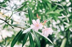Primo piano dei fiori dell'oleandro con le gocce di pioggia fotografie stock libere da diritti