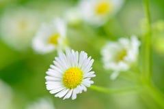 Primo piano dei fiori della camomilla e del fondo della sfuocatura Fotografia Stock
