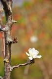 Primo piano dei fiori della pesca fotografia stock