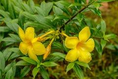 Primo piano dei fiori della tromba dorata in Tailandia Fotografia Stock