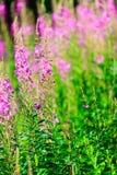Primo piano dei fiori della viola del prato Wildflower in foresta Immagini Stock Libere da Diritti