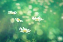 Primo piano dei fiori delle margherite del prato al sole Fotografia Stock