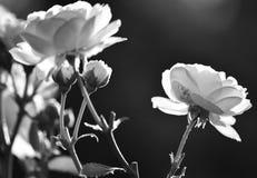Primo piano dei fiori delle rose bianche in bianco e nero immagini stock