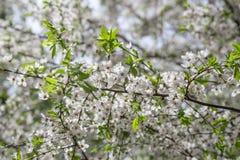 Primo piano dei fiori di ciliegia Fotografia Stock