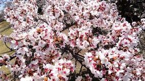 Primo piano dei fiori di ciliegia dal punto di vista dell'uccello in un parco a Tokyo fotografie stock
