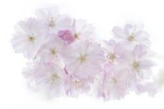 Primo piano dei fiori di ciliegia della molla isolati su fondo bianco fotografie stock