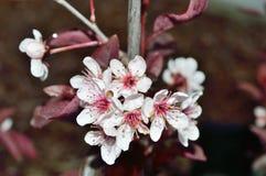 Primo piano dei fiori di ciliegia della sabbia di Purpleleaf Fotografie Stock