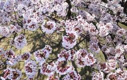 Primo piano dei fiori di ciliegia in piena fioritura in un parco a Tokyo fotografia stock