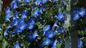 Primo piano dei fiori di salto della brezza dello scalatore porpora di ipomea archivi video