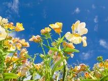 Primo piano dei fiori di sp. di Nemesia contro cielo blu Immagine Stock