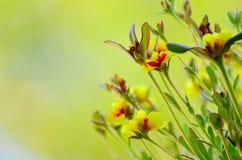 Primo piano dei fiori gialli Fotografia Stock