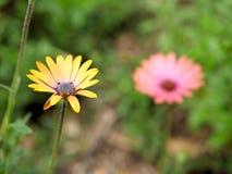 Primo piano dei fiori gialli con le foglie verdi in un giardino della farfalla in Santa Barbara California Obiettivo macro con bo Fotografie Stock Libere da Diritti