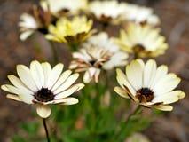 Primo piano dei fiori gialli con le foglie verdi in un giardino della farfalla in Santa Barbara California Obiettivo macro con bo Immagine Stock Libera da Diritti
