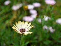 Primo piano dei fiori gialli con le foglie verdi in un giardino della farfalla in Santa Barbara California Obiettivo macro con bo Fotografie Stock