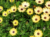 Primo piano dei fiori gialli con le foglie verdi in un giardino della farfalla in Santa Barbara California Obiettivo macro con bo Immagini Stock Libere da Diritti